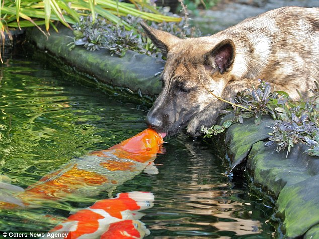 kissing.koi